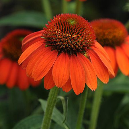 Sombrero Flamenco Orange Coneflower - Echinacea - Live Plant - Gallon Pot