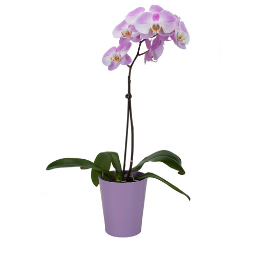 """Exotic Angel Plants 5"""" Phal Orchid In 14"""