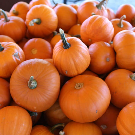 Pumpkin Garden Seeds - Wee-B-Little Variety - 1 oz - Non-GMO, Heirloom - AAS Winner - Vegetable Gardening Seed - Small Miniature (Small Pumpkins)