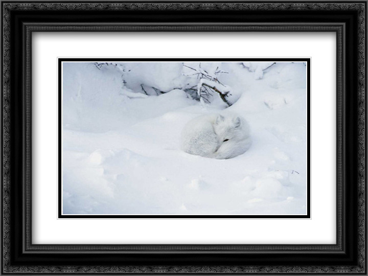 Arctic Fox curled up in the snow, Churchill, Manitoba, Canada 2x Matted 24x18 Black Ornate Framed Artwork Print by... by FrameToWall