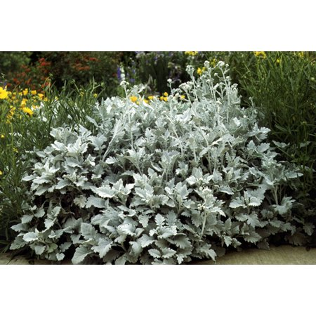 Image of 6pk Dusty Miller