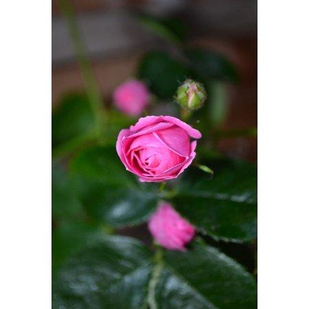 Pink Rose Bud Print - LAMINATED POSTER Close-up Plant Bud Rose Nature Flower Pink Poster Print 24 x 36