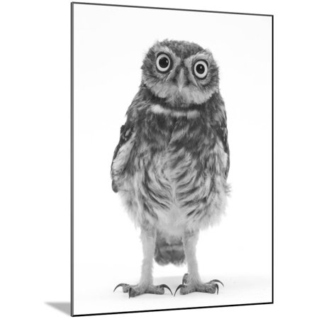 Portrait of a Young Little Owl (Athene Noctua) Animal Black and White Photography Wood Mounted Print Wall Art By Mark Taylor ()