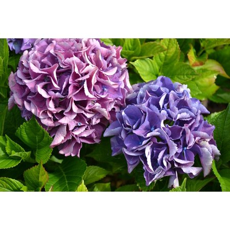 Autumn Hydrangea (Framed Art For Your Wall Hydrangea Green Purple Flowers Autumn Garden 10x13)