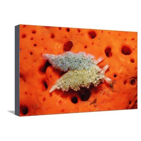 Two Lettuce Sea Slugs, Tridachia Crispata, Saint Lucia, French West Indies, Caribbean Sea Stretched Canvas Print Wall Art By Reinhard Dirscherl](Saint Lucia Day)