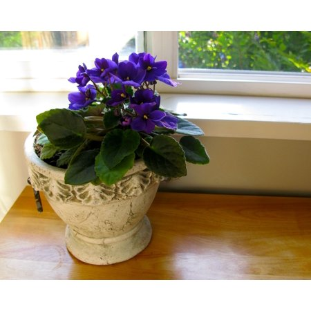 Image of Pm Garden Blooming African Violet