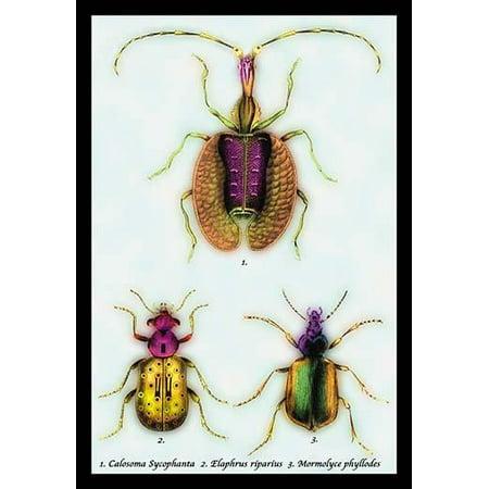 "Beetles: Calosoma Sycophanta, Elaphrus Raperius et al. #1- Fine Art Canvas Print (20"" x 30"")"