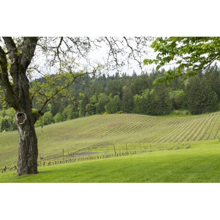 Oregon, Willamette Valley, Forest Grove. Pinot Noir Vines in Spring Print Wall Art By Emily (Flora Springs Pinot)
