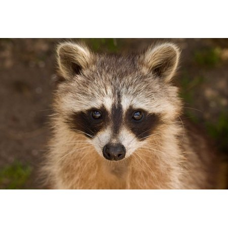 Peel-n-Stick Poster of Mask Wildlife Portrait Cute Furry Small Raccoon Poster 24x16 Adhesive Sticker Poster Print