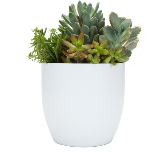 "Exotic Angel Plants 6"" Succulent Garden in 16 cm Basel White Pot"
