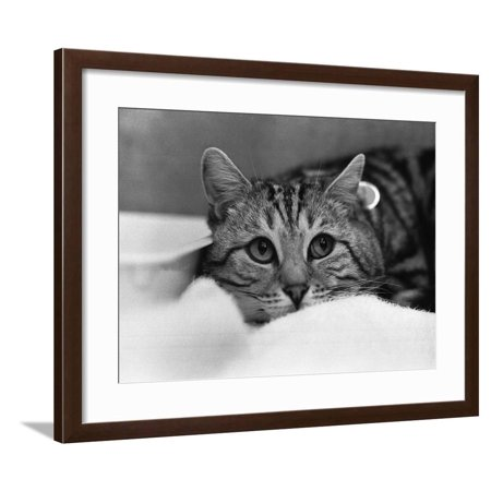 The National Cat Club Championship Show 1984 at Olympia Framed Print Wall (National Cat Club)