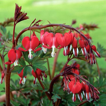 Valentine Dicentra spectabilis - Bleeding Heart Perennial - Gallon Pot