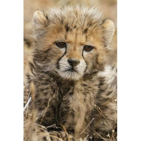 Africa, Kenya, Masai Mara National Reserve. Portrait of cheetah cub. Print Wall Art By Jaynes Gallery