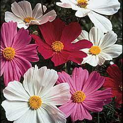 The Dirty Gardener Cosmos Bipinnatus Sensation Flower Mix