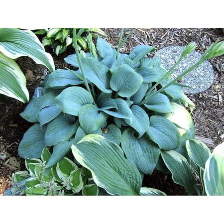 Fragrant Blue Hosta Blue Leaves Fragrant White Flowers Quart
