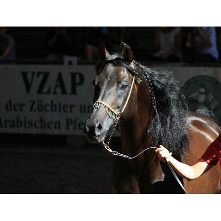 LAMINATED POSTER Arabian Horse Horse Head Stallion Arabs Horse Poster Print 24 x 36