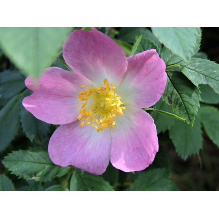 LAMINATED POSTER Rose Blooms White Pink Nature Rosaceae Wild Rose Poster Print 24 x 36