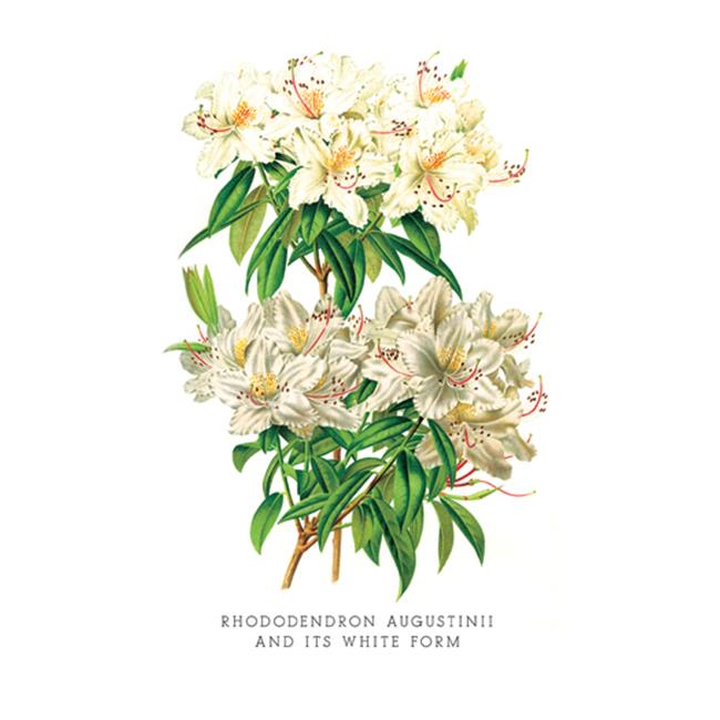 Buy Enlarge 0-587-03667-2P20x30 Rhododendron Augustinii and Its White Form- Paper Size P20x30