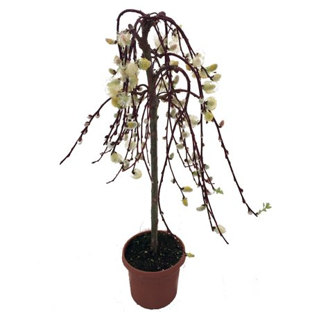 Tree of Enchantment Mini Weeping Pussy Willow Tree - Bonsai or Outdoors-6