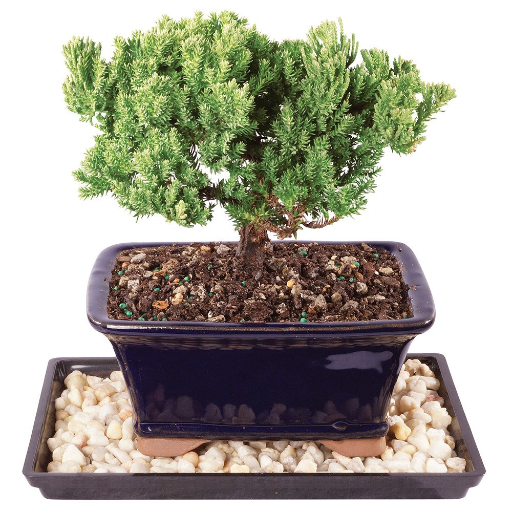 Brussels Live Dwarf Kingville Boxwood Outdoor Bonsai Tree Humidity Tray /& Deco Rock 7 Years Old; 8 to 12 Tall with Decorative Container