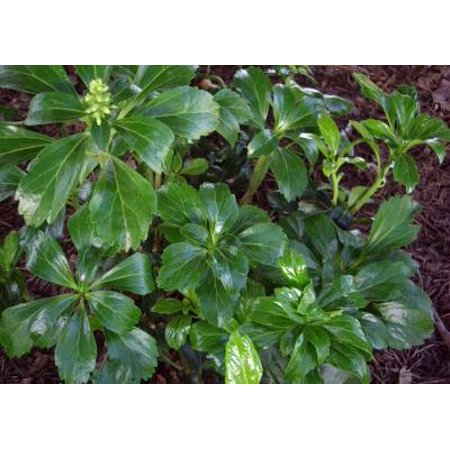 Classy Groundcovers - Pachysandra terminalis 'Green Sheen' {50 Bare Root plants}