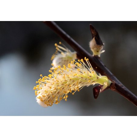 LAMINATED POSTER Spring Bloom Bloom Blossom Plant Pussy Willow Poster Print 24 x 36 ()