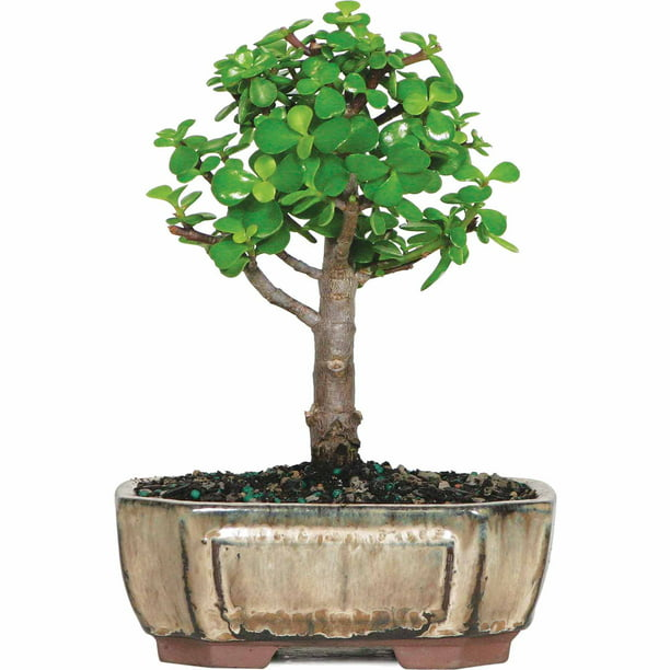 Brussel S Dwarf Jade Bonsai Small Indoor Walmart Com Walmart Com