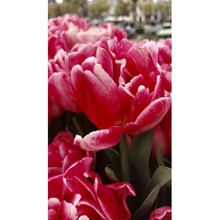 - LAMINATED POSTER Plant Tulip View Flowers Red Poster Print 24 x 36