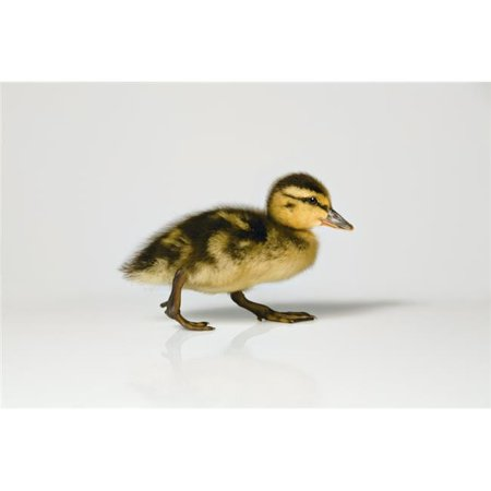 Duckling Walking Poster Print by Leah Hammond, 17 x 11 - image 1 of 1