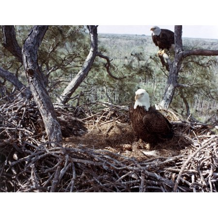Florida Bald Eagles 1983 Na Pair Of Bald Eagles And Their Hatchlings At Their Nest On The Property Of The Kennedy Space Center In Florida Photograph 1983 Rolled Canvas Art     18 X 24