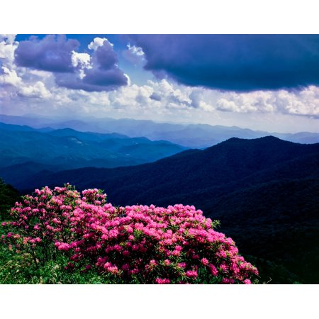 - Catawba rhododendron in bloom Yellow Face Overlook Blue Ridge Parkway North Carolina USA Poster Print by Panoramic Images