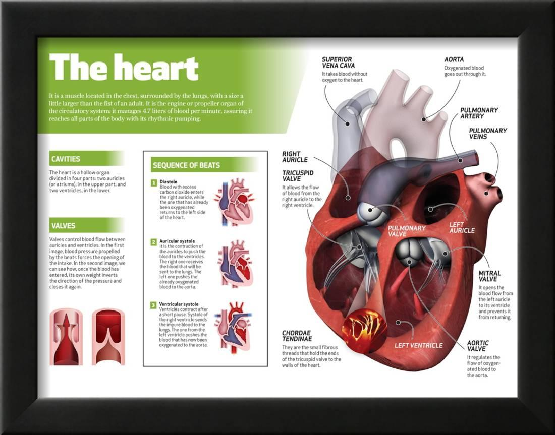 Infographic On The Heart Engine Body Of The Circulatory System
