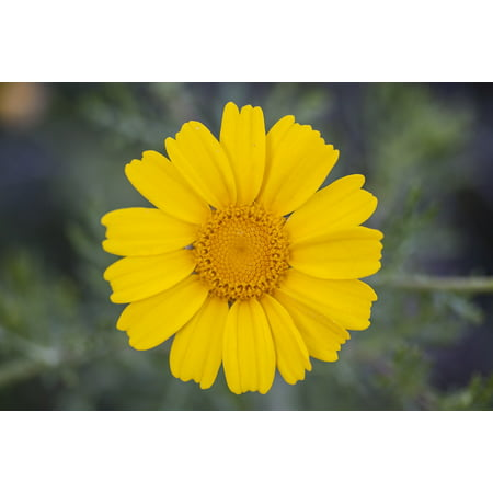 LAMINATED POSTER Garden Daisy Flowers Nature Flower Yellow Plant Poster Print 24 x 36
