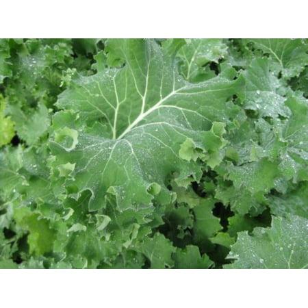 Kale Dwarf Siberian Improved Great Heirloom Vegetable 1,000 Seeds By Seed (Siberian Kale)