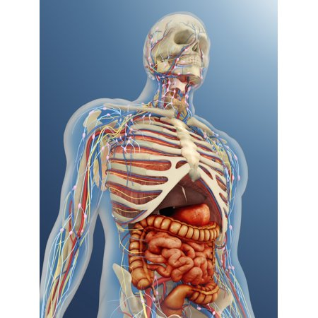 Transparent human body with internal organs nervous system lymphatic system and circulatory system Poster - Organs Human Body