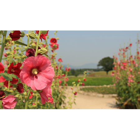 Fat Flowers - LAMINATED POSTER Fat Flowers Hollyhock Pink Petals Nature Summer Poster Print 24 x 36