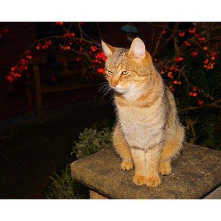 Canvas Print Pet Female Cat Face Domestic Cat Cat Head Sweet Stretched Canvas 32 x 24