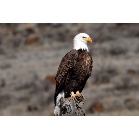 LAMINATED POSTER Adult Fauna Bald Eagle Animals Banded Birds Poster Print 24 x 36
