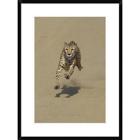 Global Gallery 'Cheetah Running, Native to Africa' Framed Photographic Print for $<!---->