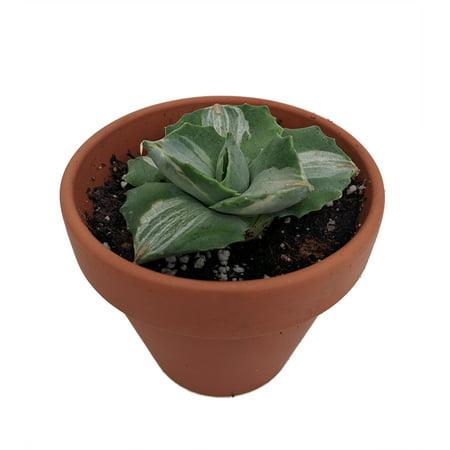 - Variegated Butterfly Century Plant - Agave potatorum Variegated -  3