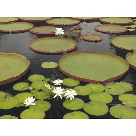 Water Lily and Lily Pad Pond, Longwood Gardens, Pennsylvania, Usa Print Wall Art By Adam Jones ()