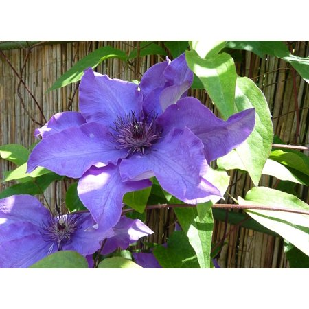 Canvas Print Blue-Purple Clematis Climber Garden Plant Stretched Canvas 10 x