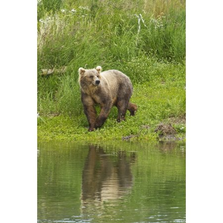Brown Bear  Ursus Arctos  Walking On Vegetated Bank Of Brooks River While Fishing For Sockeye Salmon Katmai National Park And Preserve Southwest Alaska Canvas Art   Gary Schultz  Design Pics  12 X 19