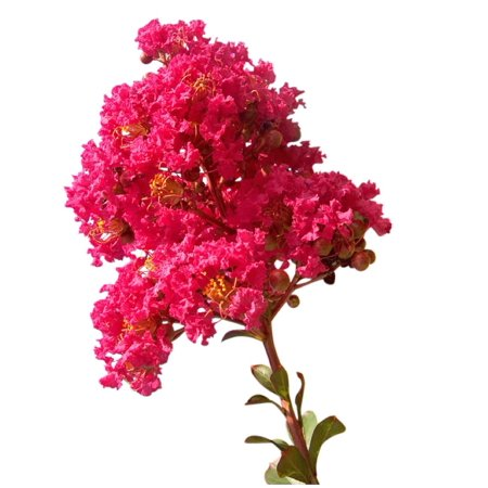 Crape Myrtle Seeds Diamond Black Seed Packet +1 Free Plant