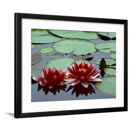 Red Flowers Bloom on Water Lilies in Laurel Lake, South of Bandon, Oregon, USA Framed Print Wall Art By Tom Haseltine