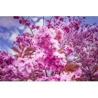 LAMINATED POSTER Flower Tree Flowers Pink Tree Japanese Cherry Trees Poster Print 24 x 36