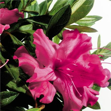 Encore azalea autumn sundance deep pink fuchsia blooms walmart encore azalea autumn sundance deep pink fuchsia blooms mightylinksfo