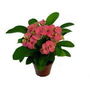 "Rare Rhea Biblical Crown of Thorns Plant - Euphorbia - Pink - 2.5"" Pot"