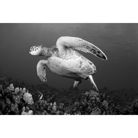 Hawaii Maui Green Sea Turtle (Chelonia Mydas) Swimming Over Coral Reef (Black And White Photograph) Canvas Art - Dave Fleetham  Design Pics (40 x 26) (Black Coral Maui Jim)