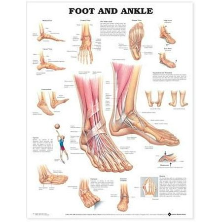 Foot and Ankle Anatomical Chart-Laminated (Anatomical Chart Series)